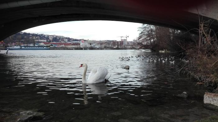 Cisne en el Río Rodano